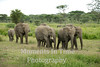elephant herd with young