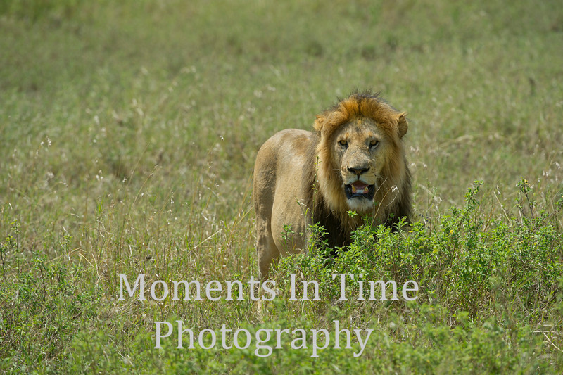 Male lion centered
