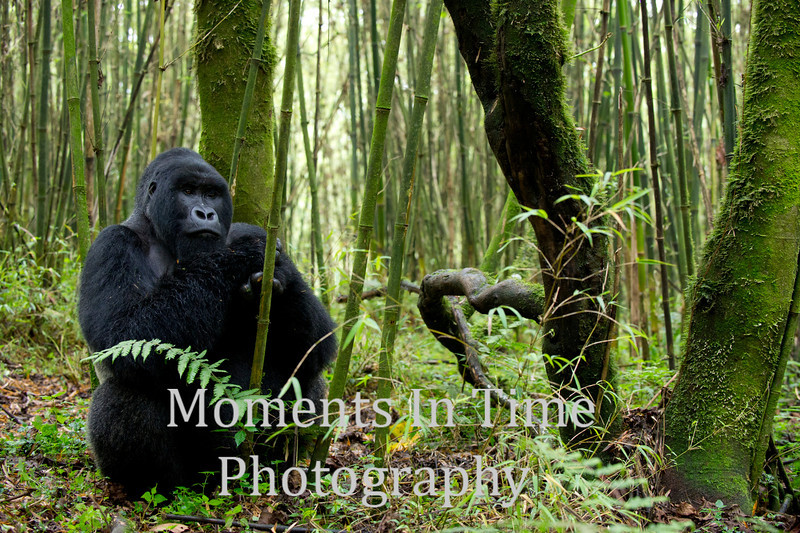 silverback sitting in bamboo forest