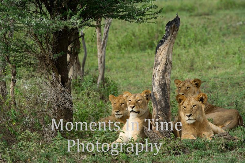 4 lions, dead tree