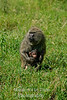 baboon mom baby tucked in on grass