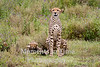 cheetah two cubs one facing forward