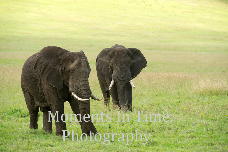two bulls in grassland