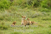lioness with 3 cubs in grass
