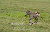 young zebra running and jumping