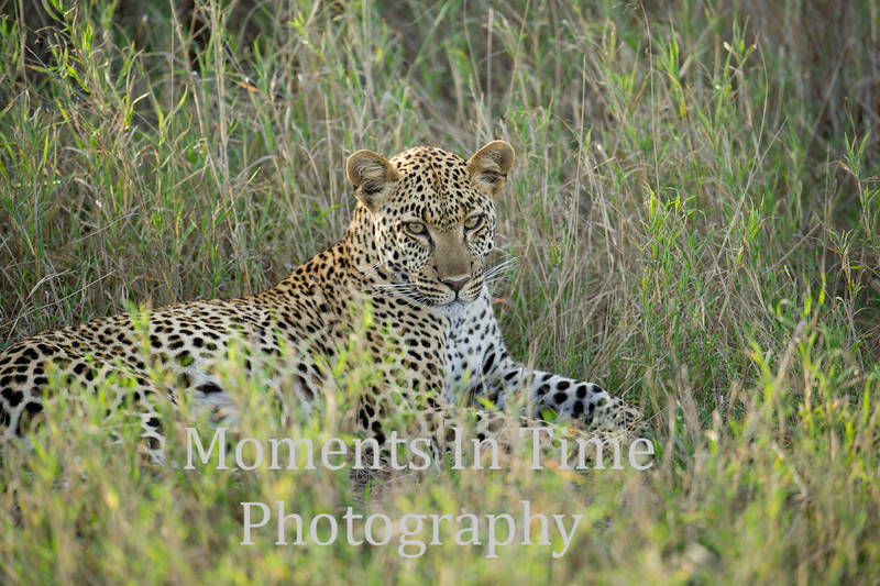 Leopard looking relaxed