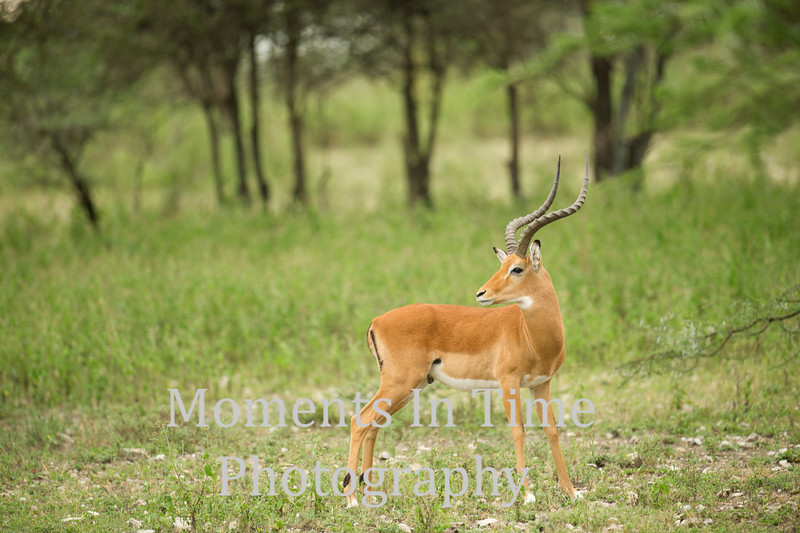 Impala buck head turned