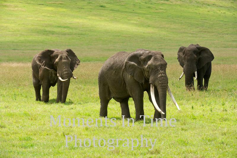 three big bulls in grassland