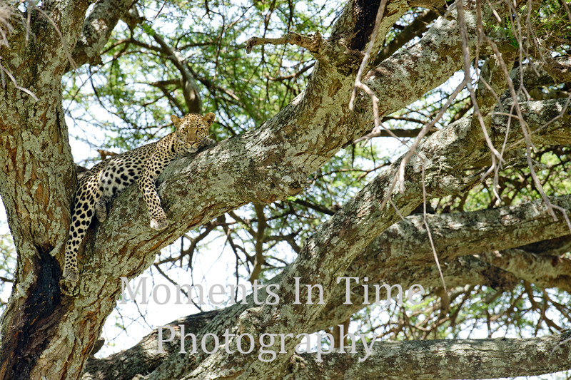 draped over tree limb