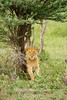 lion coming out from tree
