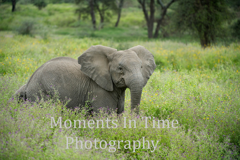 juvenile elephant in tall hgrass