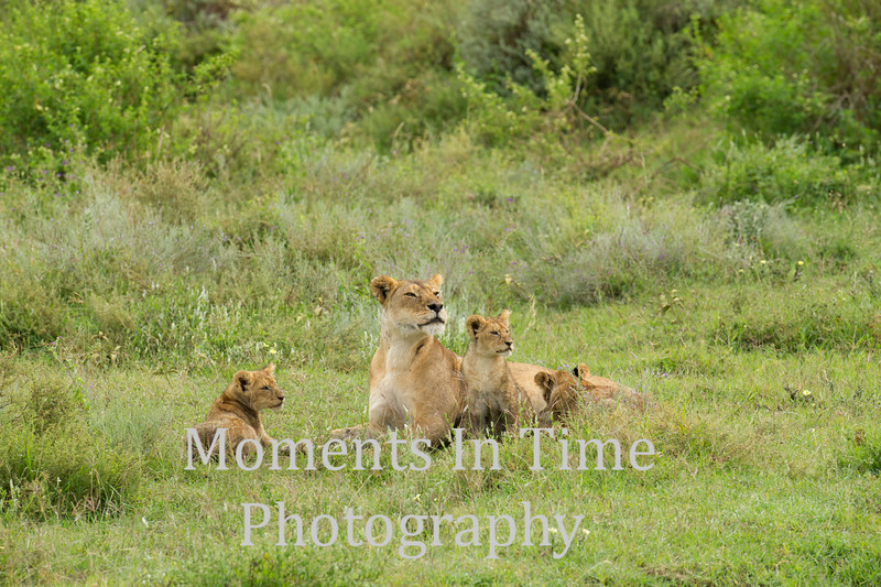 3 cubs with lioness, 2 alert