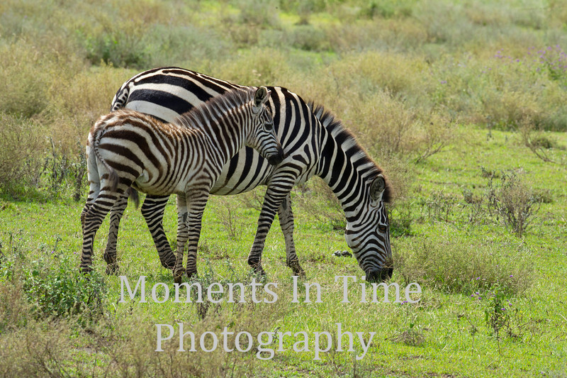 young zebra beside grazing mother