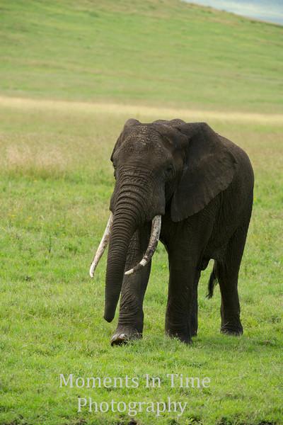 Elephant bull V
