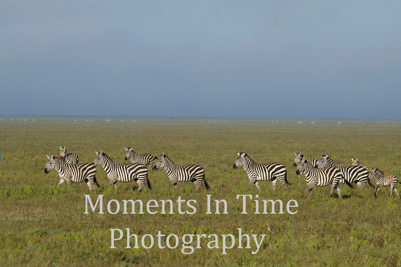 line of zebras, grass with blue sky