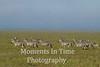 line of zebras, grass with blue sky