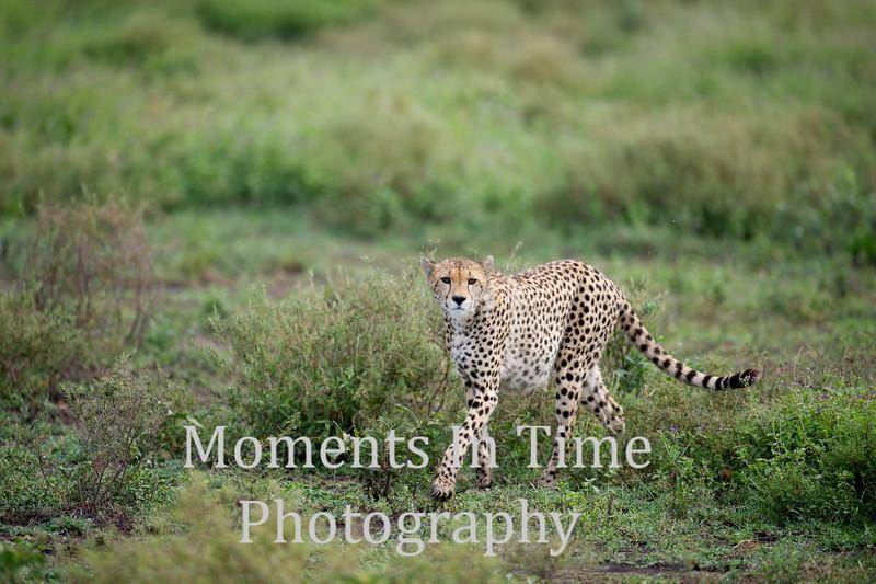 Single cheetah walking in grass