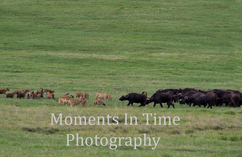 many lions, hyenas, and cape buffalo