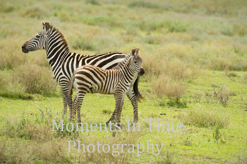 young foal standing beside mom