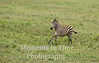 young zebra galloping