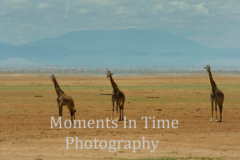3 giraffes facing forward, flamingos and hills behind