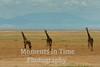 3 giraffes facing forward, flamingos and hills behind