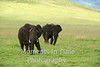 two big bulls grass background