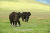 two big bulls grass background