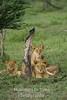 3 lions by dead tree