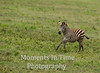 Zebra (Equus guagga)