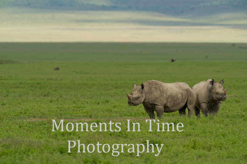 two rhinos standing