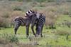 foal beside grazing mom