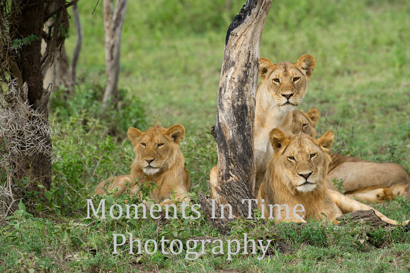 4 lions by dead tree close