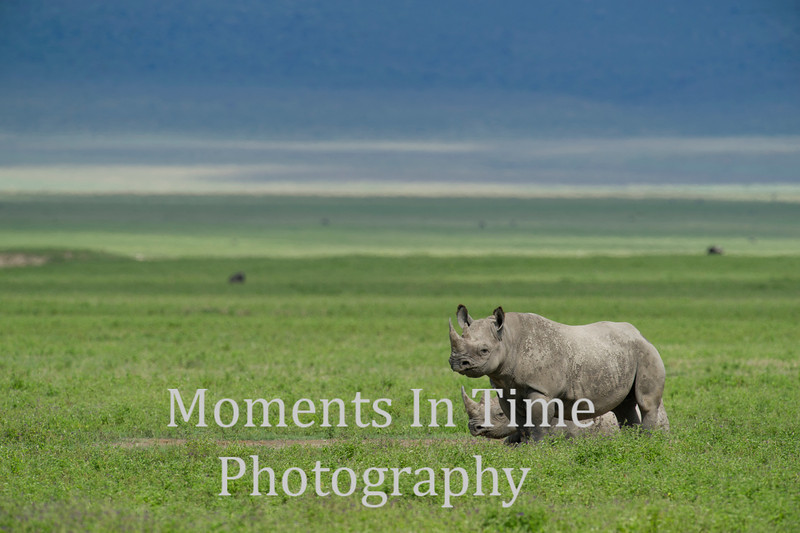 two rhinos one standing