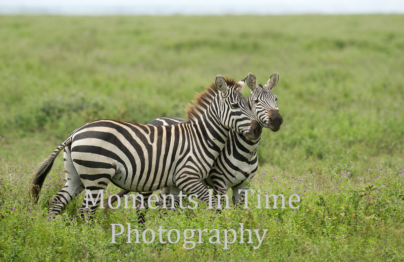 Two animated zebras heads together