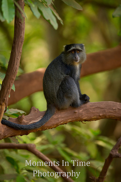 blue hair monkey on tree limb