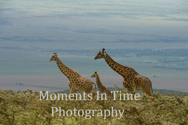 Three giraffes on the move
