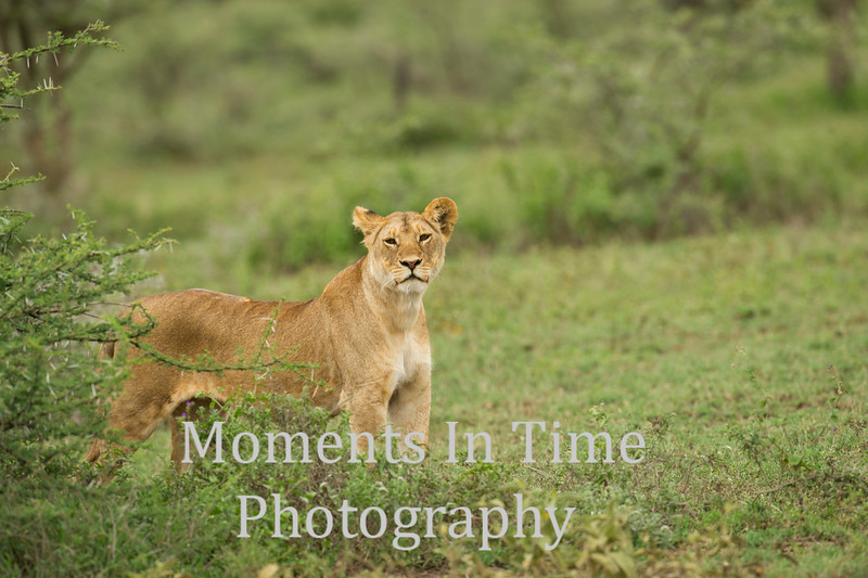 Lioness looking from behind bush