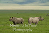 black rhino pair facing opposite directions