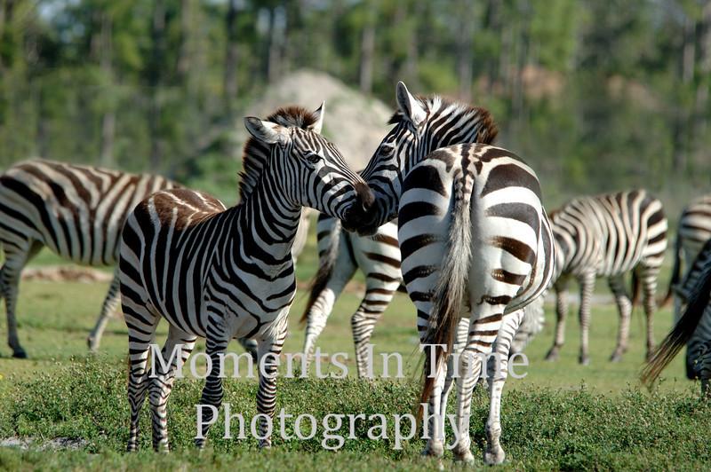 Zebra Grevys (equus grevyi)