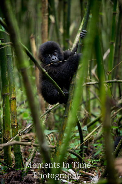 baby climbing in bamboo forest