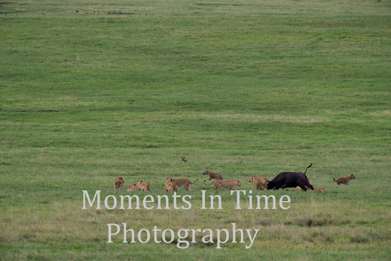 nine lions, three hyenas and cape bull