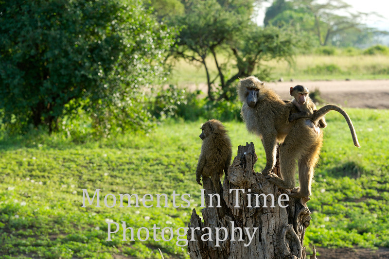 baboon family perched on stump