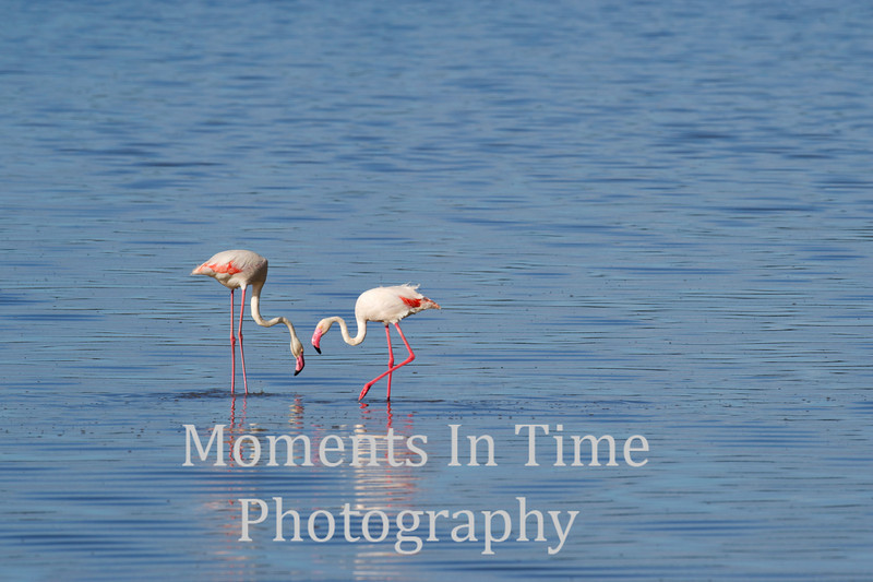 flamingo pair in blue water