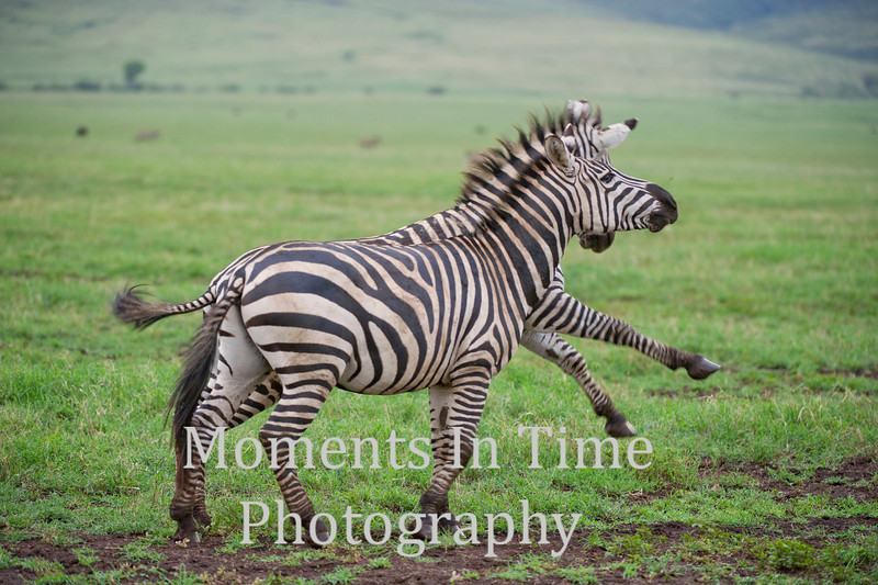 two zebras in action, two legs up on one
