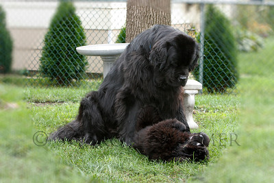 "I Am the Top Dog Here, Puppy!""  ©  2008  Sharon Nummer  Watson is telling Bismarck not to get too big for his Newfie britches.   Watson was 4 years old and Bismarck was about 14 weeks old when this photo was taken.  The boys are now 6 and 2 and the very best of buddies!"