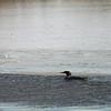 Common merganser at Forsythe