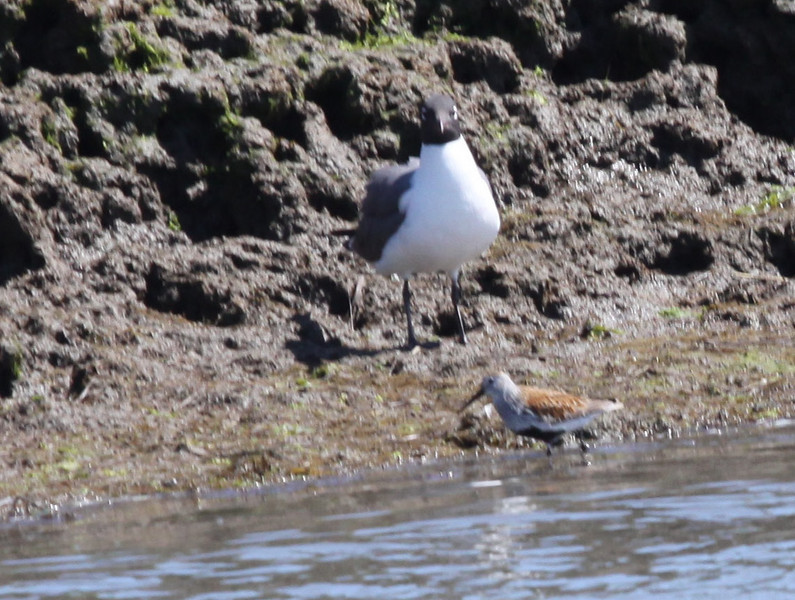 Laughing gull and Dunlin