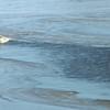 Common mergansers   at Forsythe