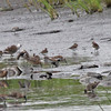Red Knots at Heislerville wildlife management area